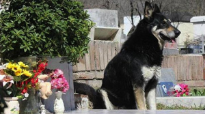 Captain, a German Shepherd, watching over his deceased owner's grave